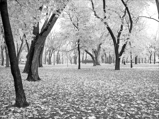 Trees, black and white, B&W, autumn, fall leaves, park